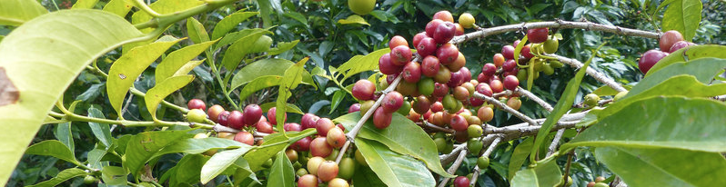Cerises de café Heirloom