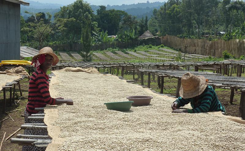 séchage de café sur lit africain