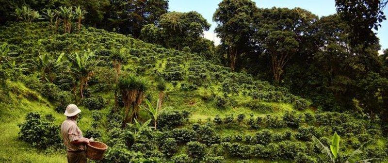 plantation arabica