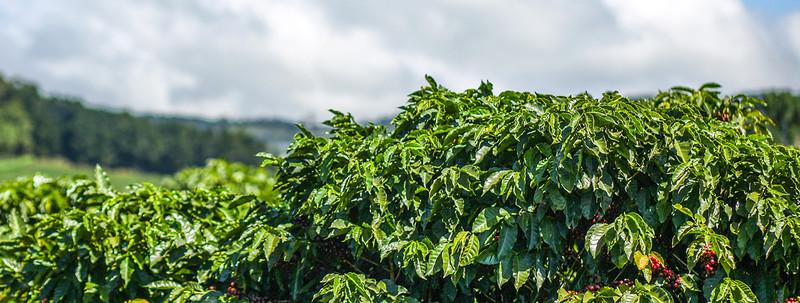 plantation robusta