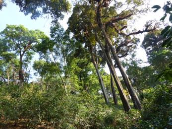 Café de forêt en agroforesterie