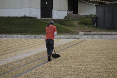 séchage de café sur patios