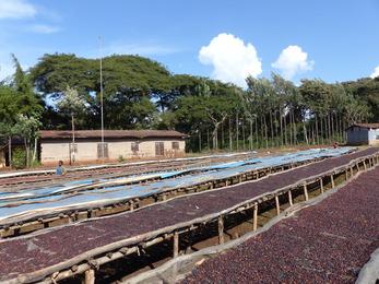 séchage de café sur lits africains