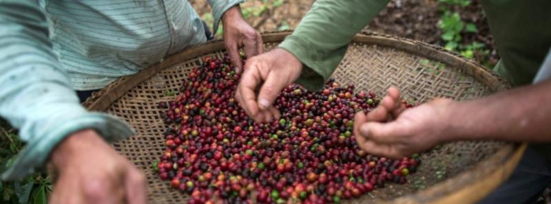 Producteurs café