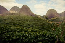 Coffee-plantation
